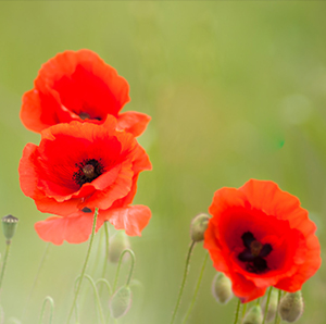 Poppy flowers bloom from growing paper