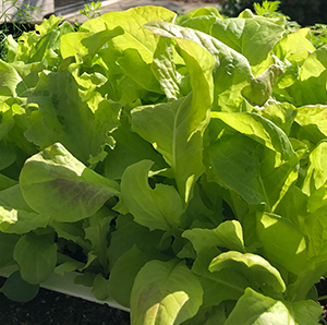 Lettuce plant from seed paper