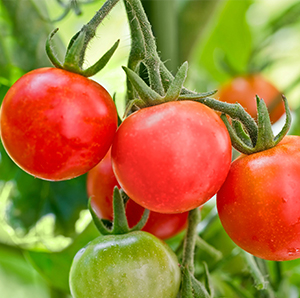 Tomato plants from grow paper